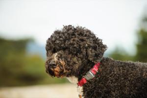 Portugisisk vattenhund
