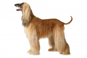 Afghanhund