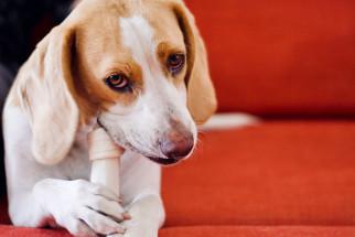 Att ge ben till hundar - det här ska du tänka på