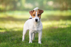 Jack russell-terrier