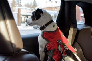 Bilsele (bilbälte) till din hund - vad ska man tänka på